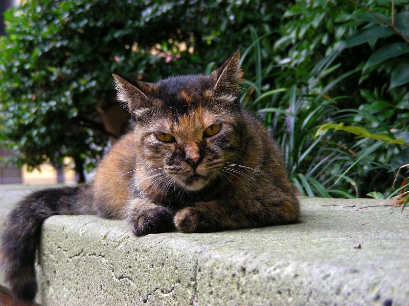 にらみ顔のサビ柄猫2