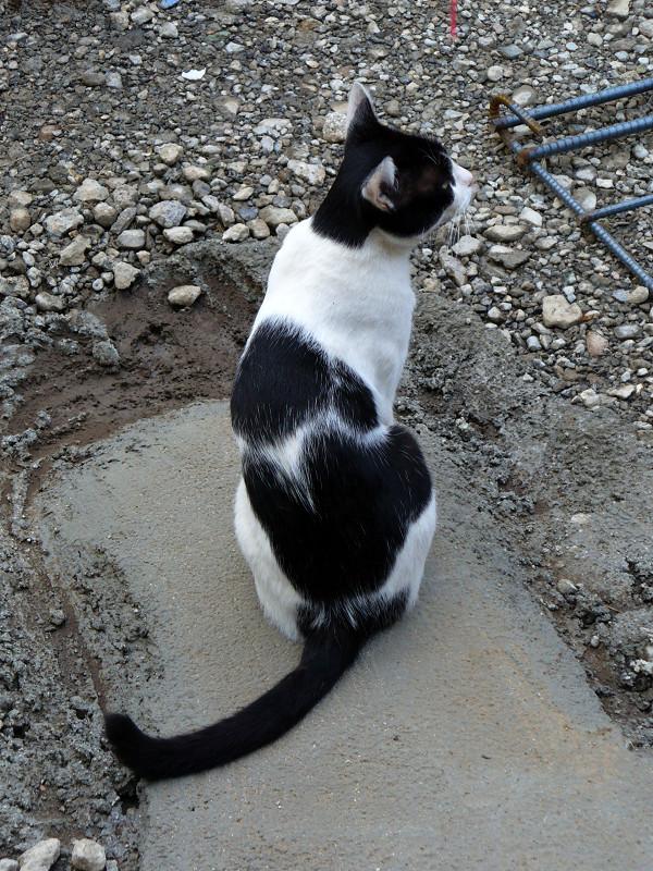 建築現場の黒白猫2