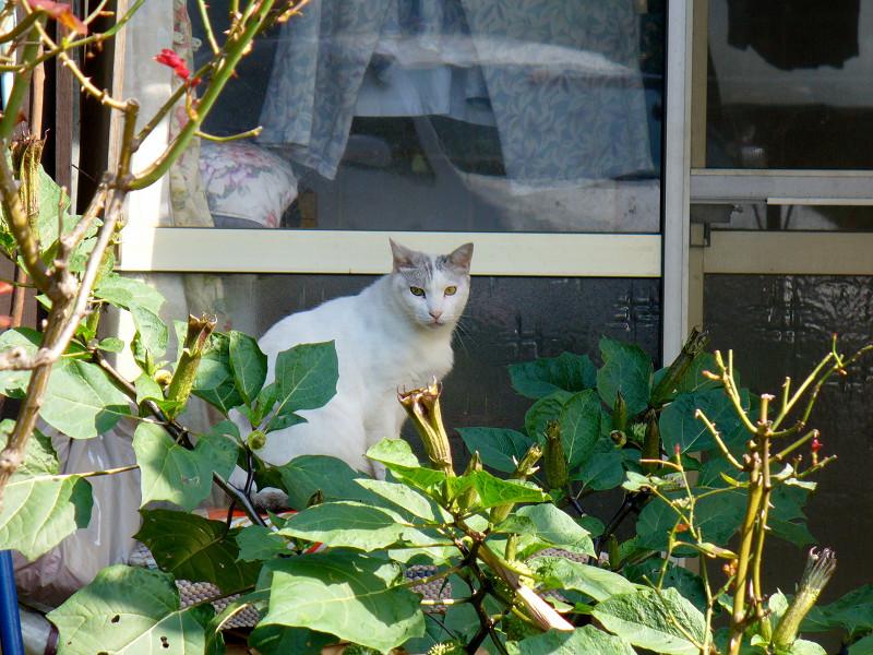 民家猫スペースの白キジ猫2
