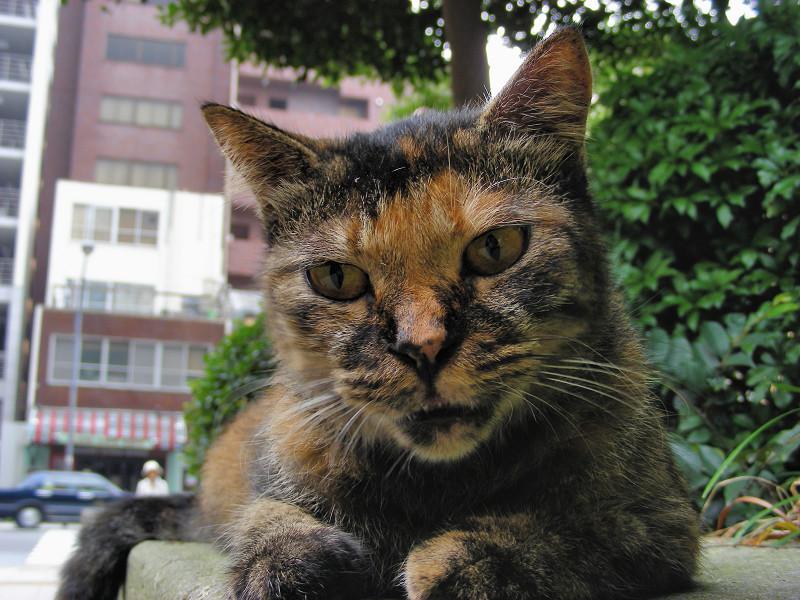 にらみ顔のサビ柄猫3