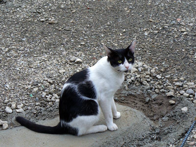 建築現場の黒白猫3