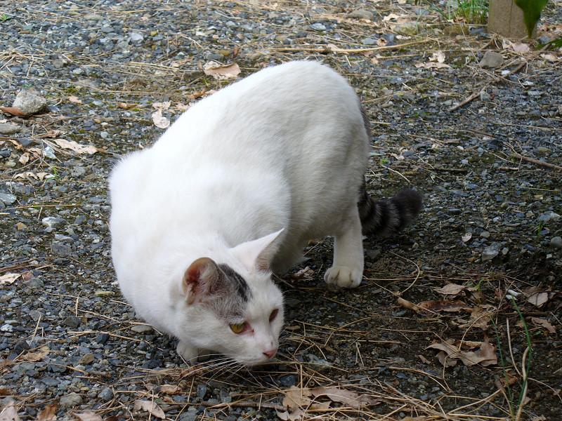石組みを見ている白キジ猫3