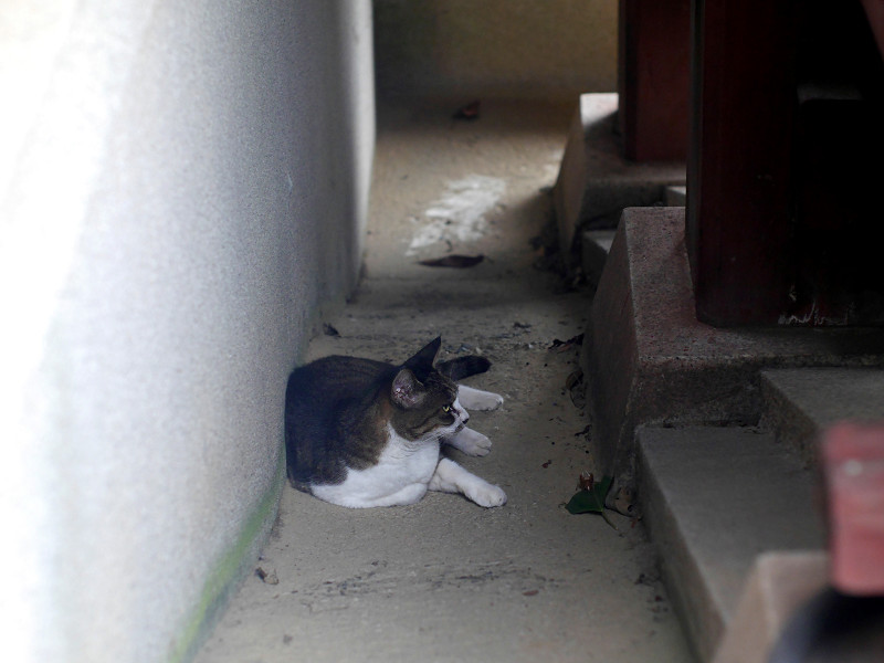 スロープで横たわるキジ白猫1