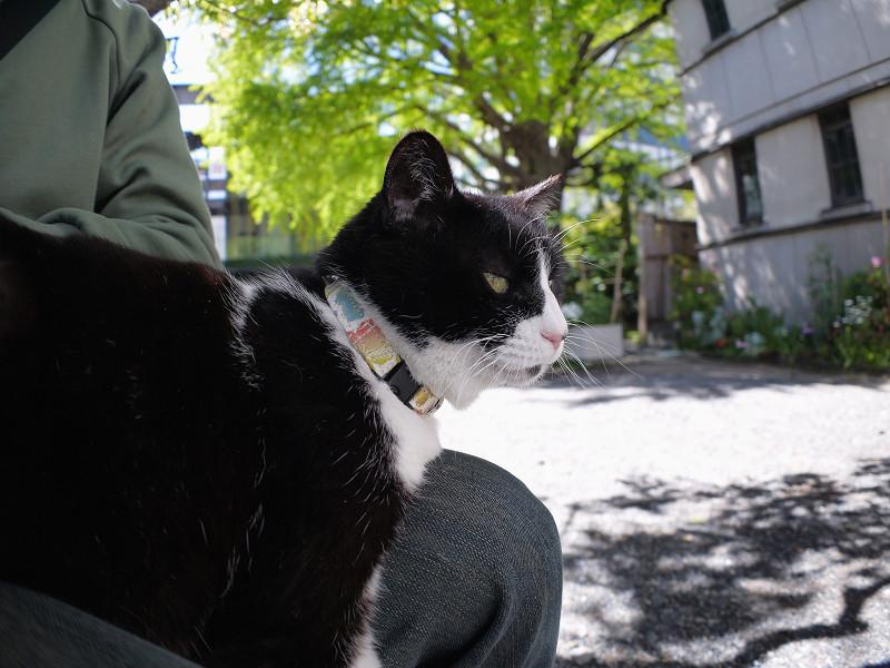 膝に乗った黒白猫の横顔1