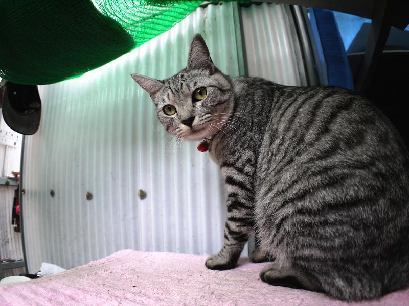 大きなってるサバトラ猫1