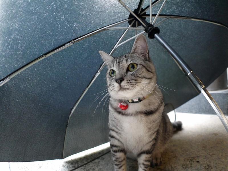 折り畳み傘とサバトラ猫1