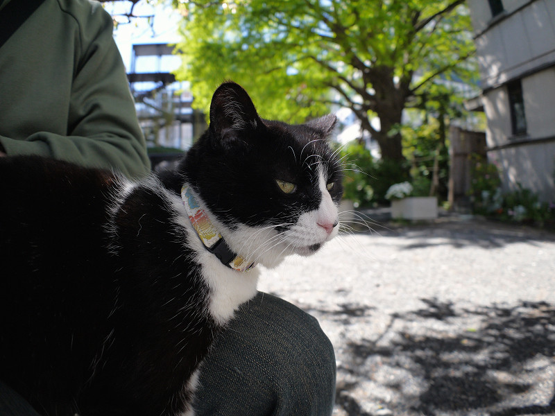 膝に乗った黒白猫の横顔2