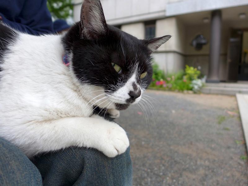 膝に乗ってる白黒猫2