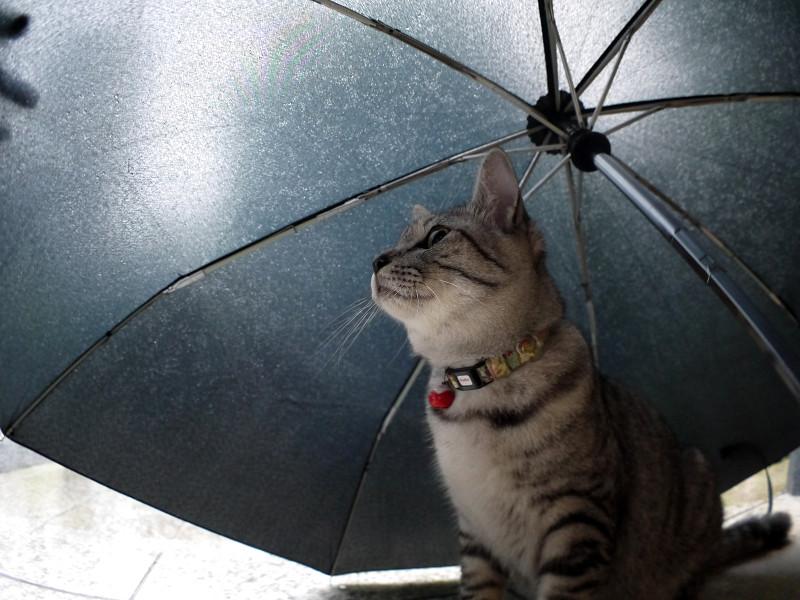 折り畳み傘とサバトラ猫2