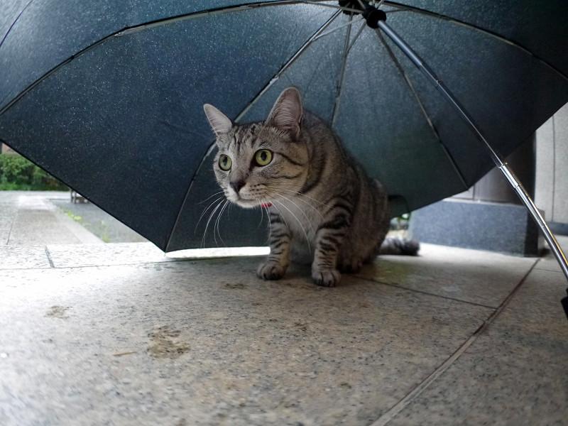 折り畳み傘とサバトラ猫3