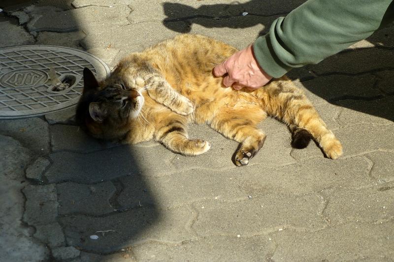 お腹を触ったキジトラ猫1