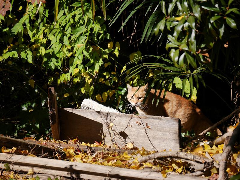 睨みつける空き地の茶トラ猫1