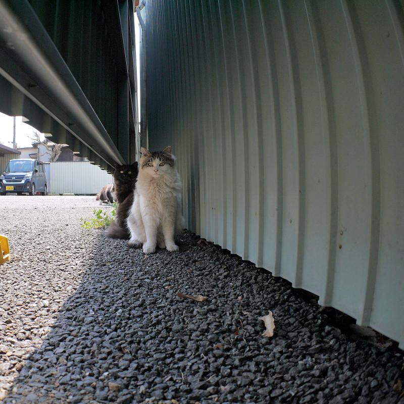 トタンの陰と隙間の猫たち2