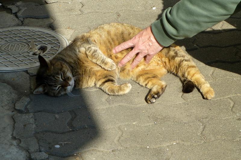 お腹を触ったキジトラ猫2