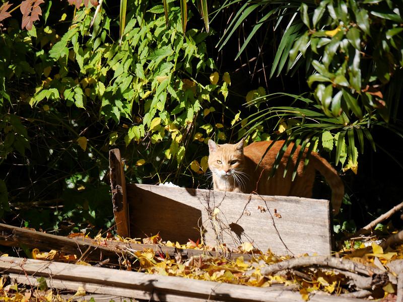 睨みつける空き地の茶トラ猫2