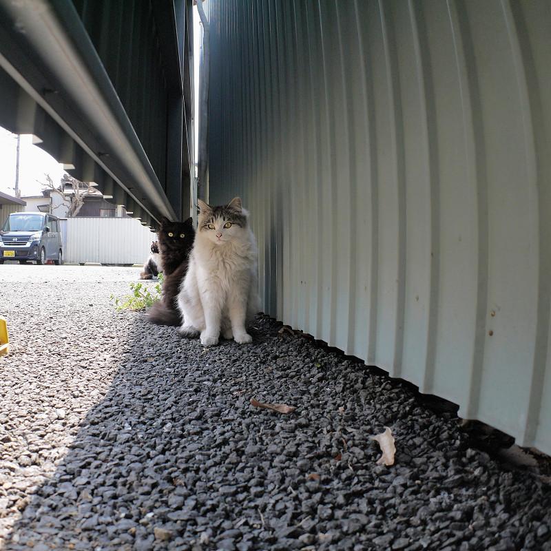トタンの陰と隙間の猫たち3