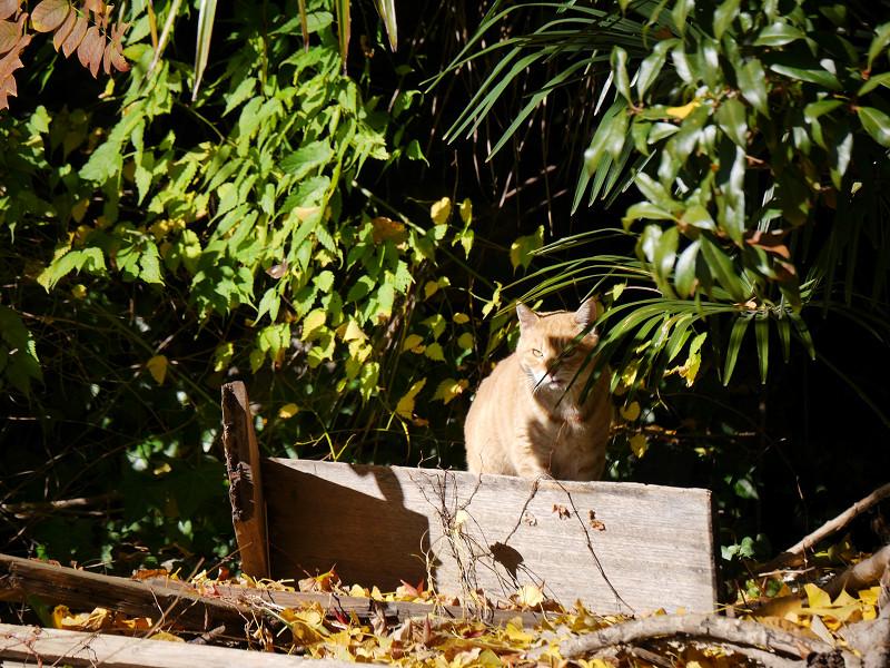 睨みつける空き地の茶トラ猫3