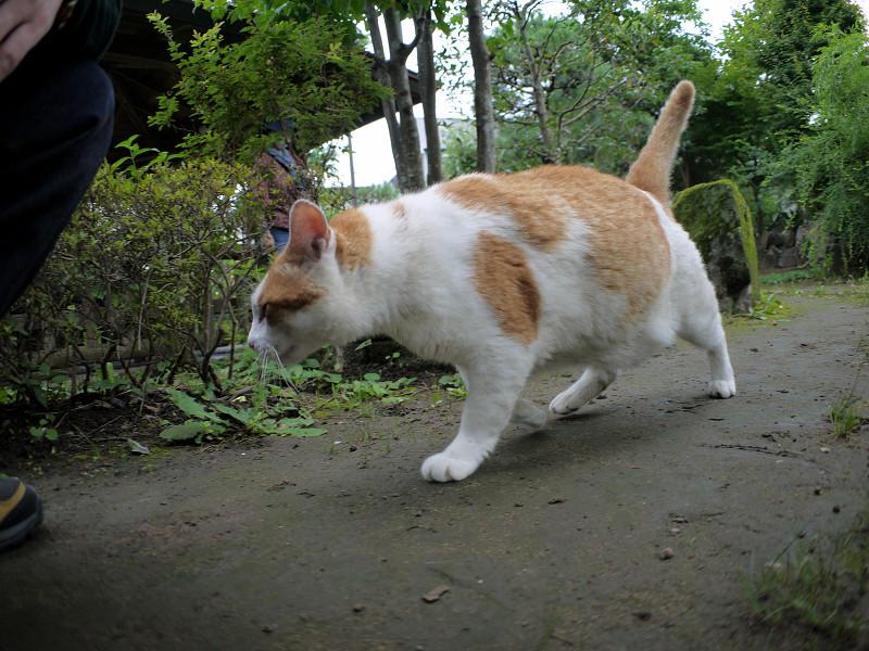 寄って来た茶白猫1