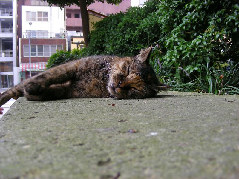 熟睡しているサビ柄猫1