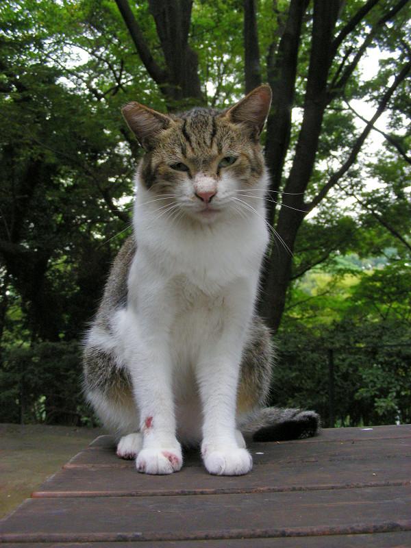 ベンチであくびするキジ白猫1