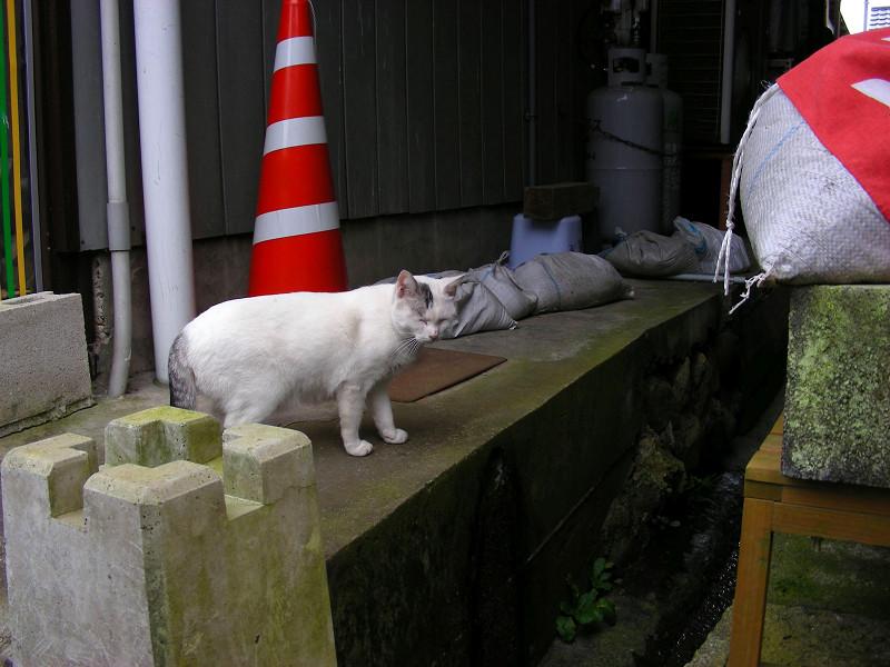 コンクリートの川と白キジ猫1