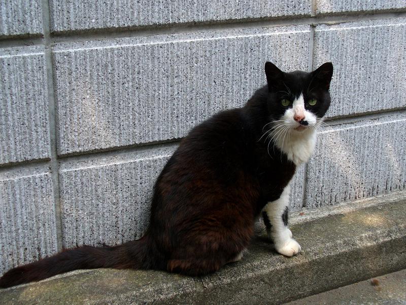 ブロック塀と黒白猫1