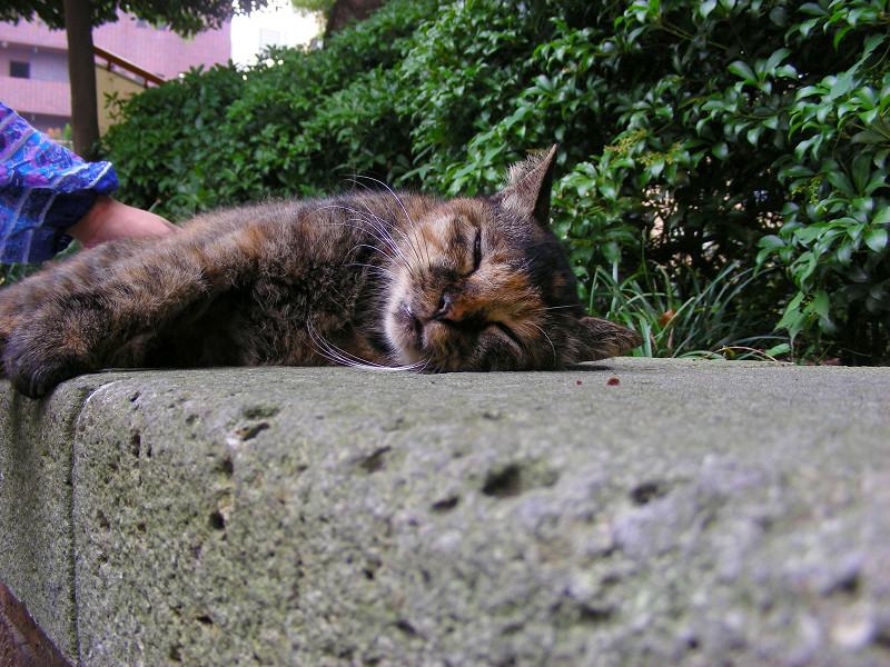 熟睡しているサビ柄猫2