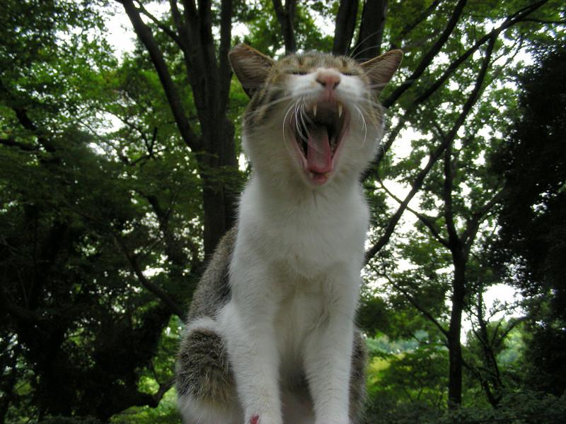 ベンチであくびするキジ白猫2