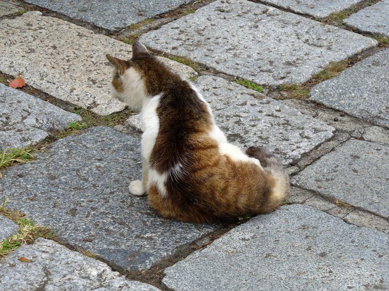 石畳とキジ白猫2