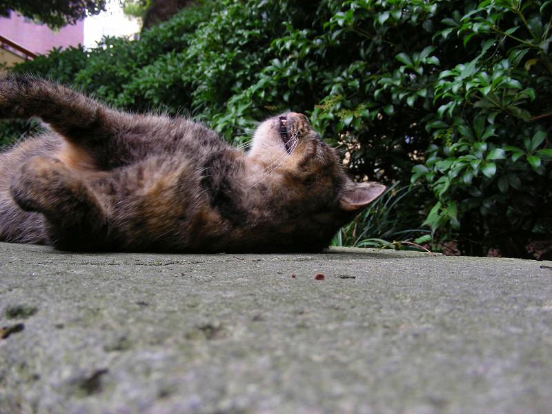 熟睡しているサビ柄猫3