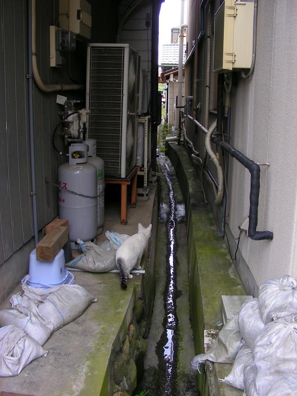 コンクリートの川と白キジ猫3