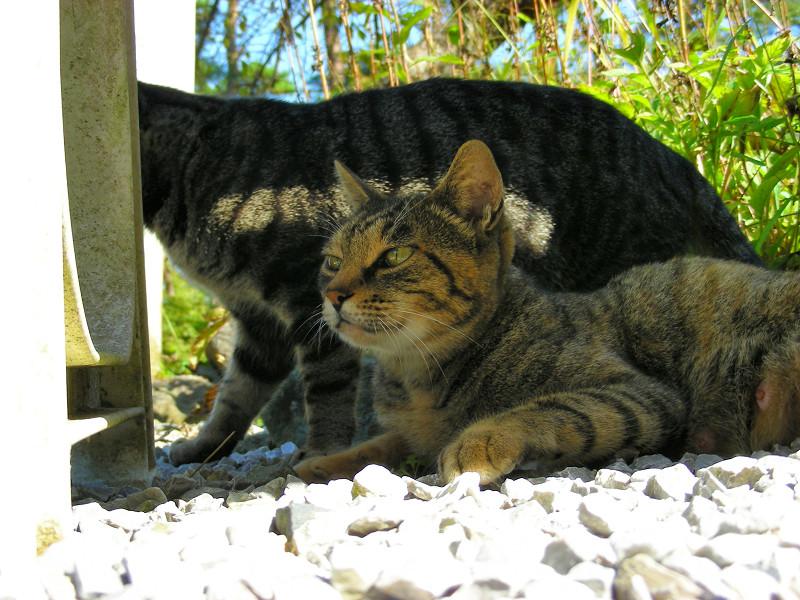 ベンチの下のキジトラ猫たち3