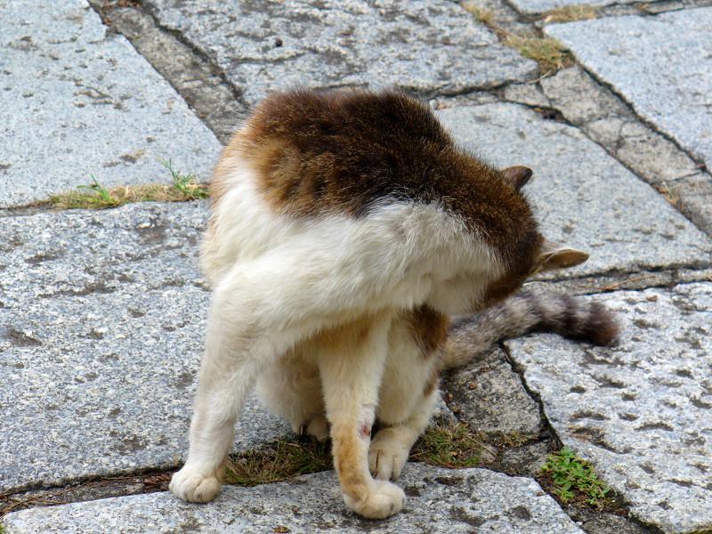 石畳とキジ白猫3