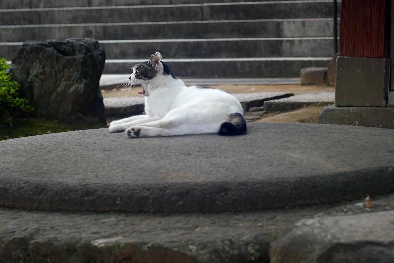 丸石の上でアクビする白キジ猫1
