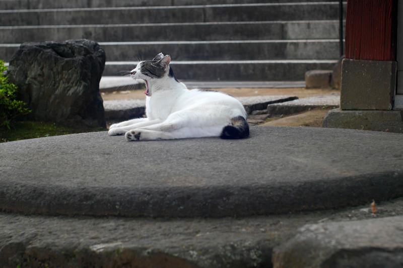 丸石の上でアクビする白キジ猫2