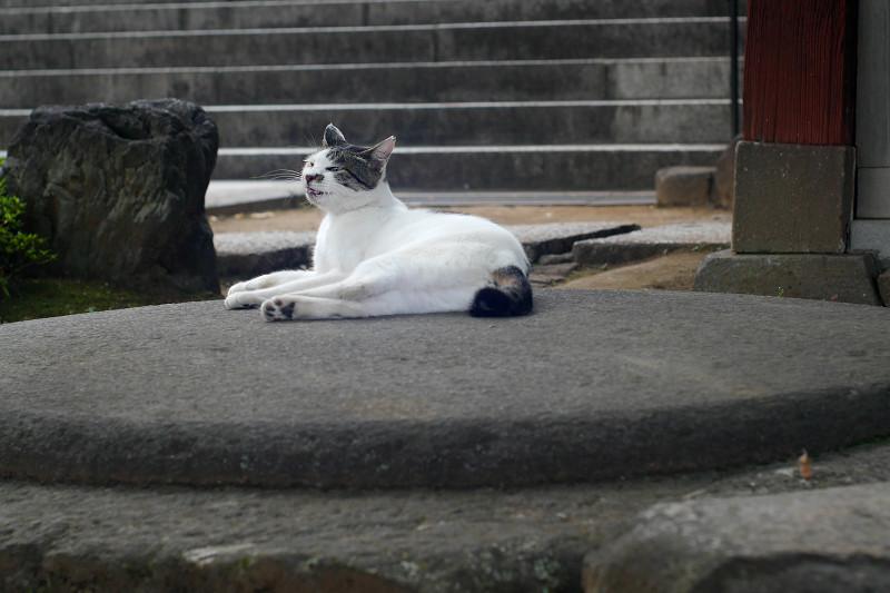 丸石の上でアクビする白キジ猫3