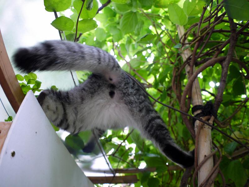 屋根へ登り上がるサバトラ猫2
