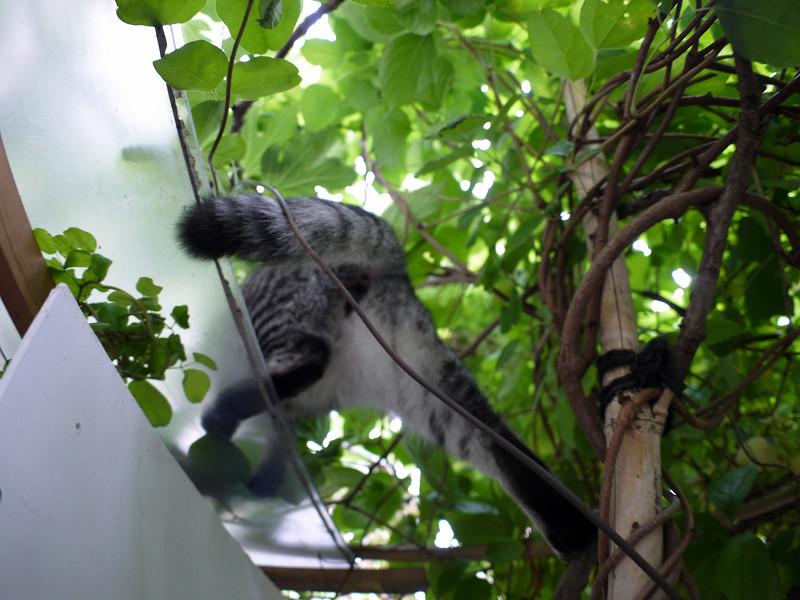 屋根へ登り上がるサバトラ猫3