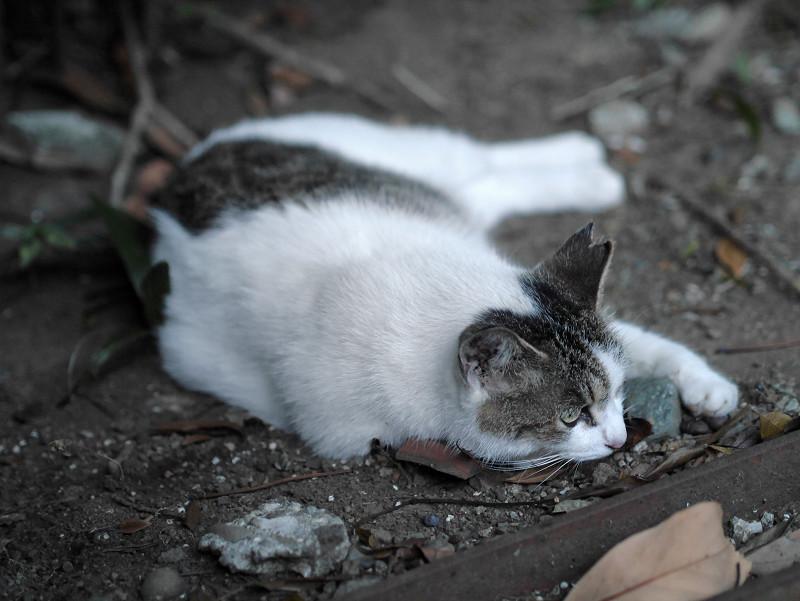 地面で腹ばってるキジ白猫1