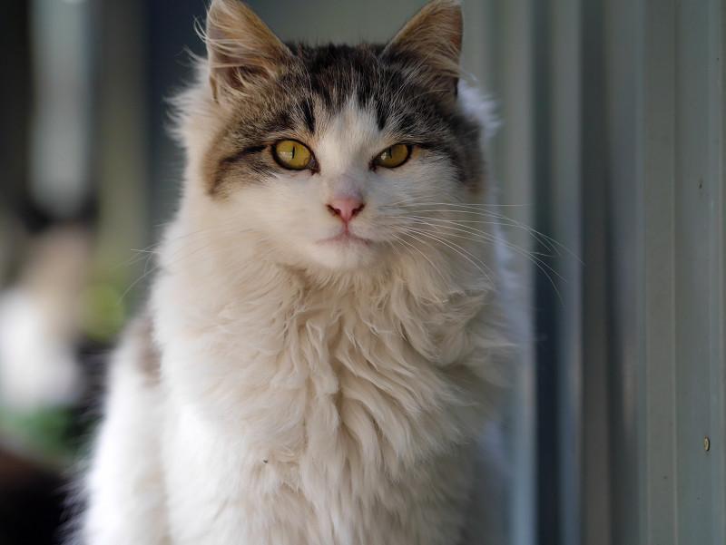 毛長キジ白猫のポートレート1