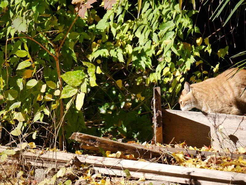 ゆっくりと移動する空き地の茶トラ猫1