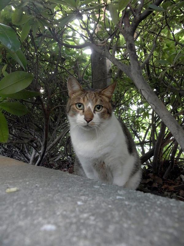 茂みとキジ白猫1