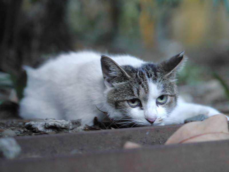 地面で腹ばってるキジ白猫2