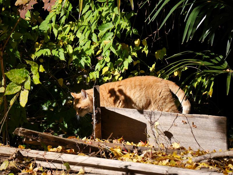 ゆっくりと移動する空き地の茶トラ猫2