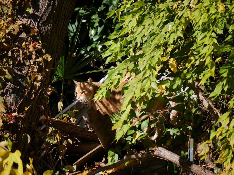 ゆっくりと移動する空き地の茶トラ猫3