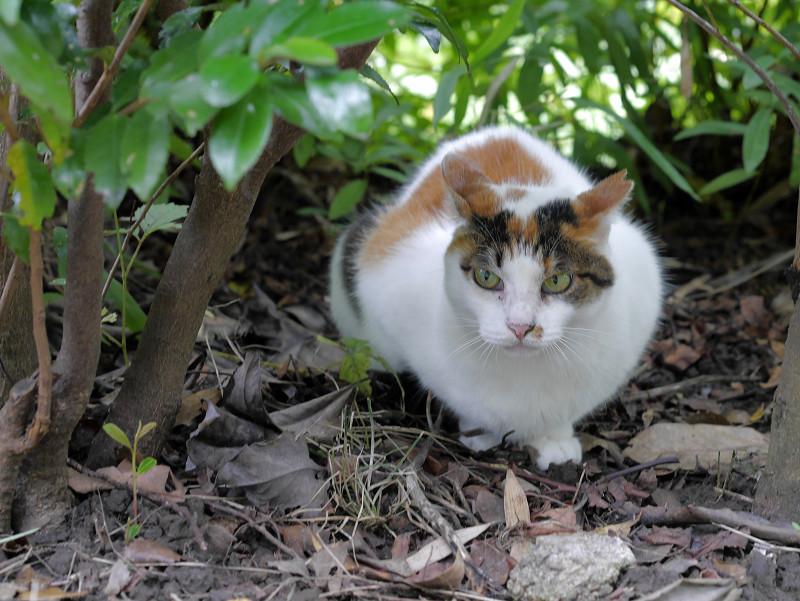 低木と白三毛猫1