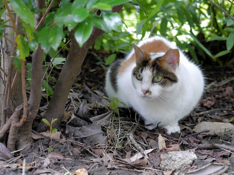 低木と白三毛猫2