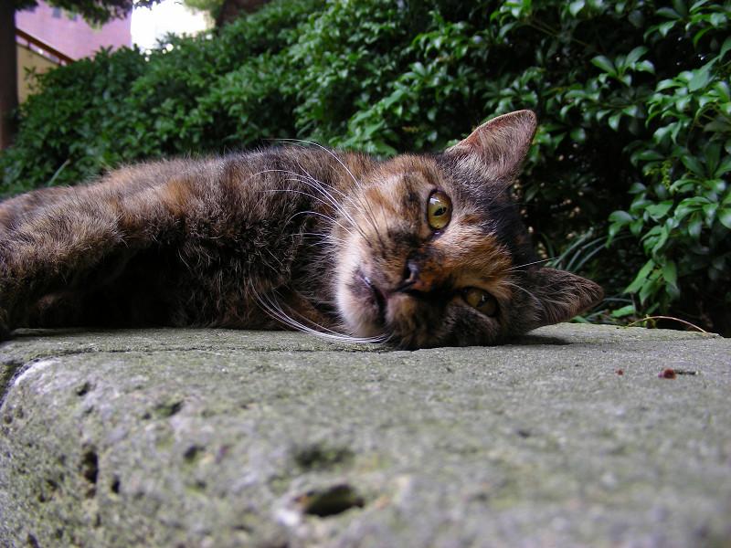 目を開けて横になってるサビ柄猫1