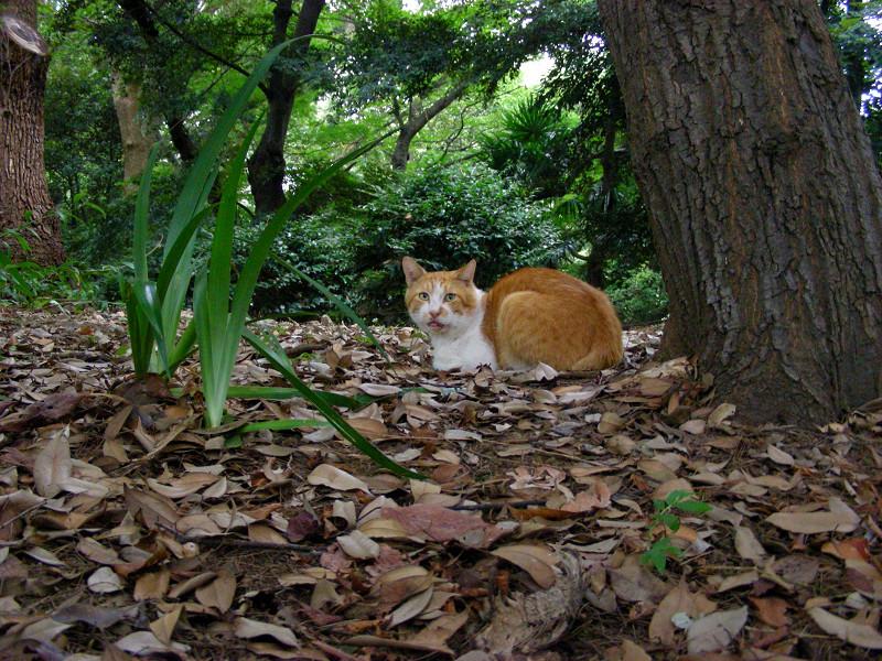 枯れ葉の上の茶白猫1
