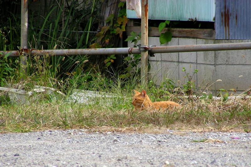 空き地草むらの茶トラ猫1